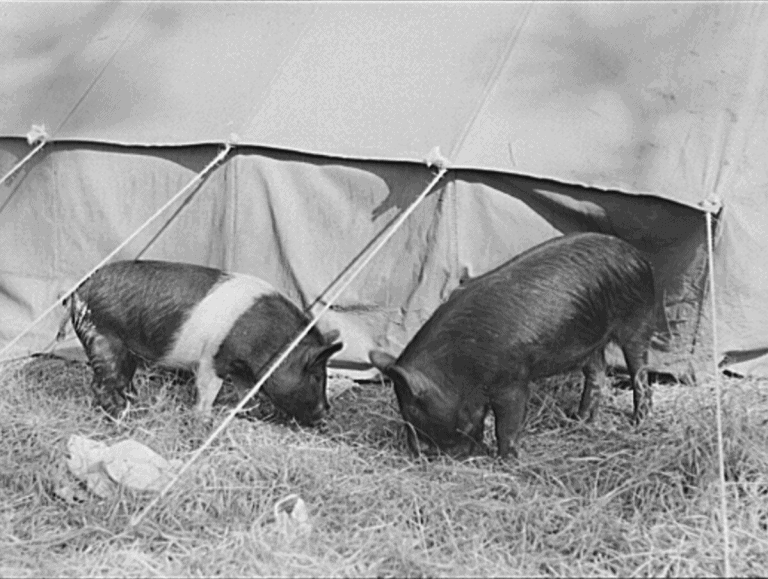pigs black and white